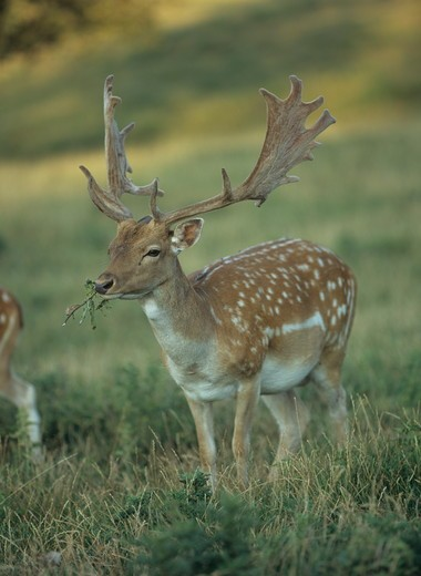 Stock Photo: 4179-29038 Fallow Deer in Meadow, Germany