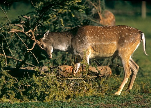 Stock Photo: 4179-29043 Young Fallow Deer stag fraying, marking territory at the beginning of rutting season (Dama dama) Germany