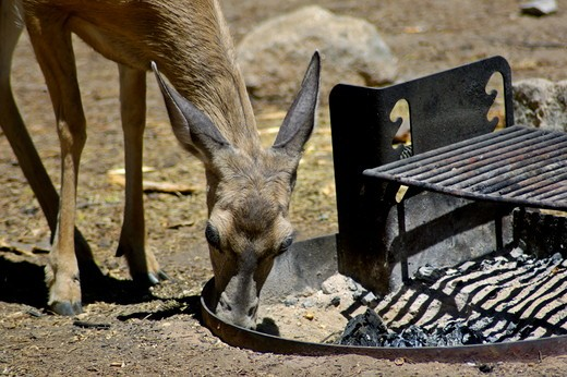 Stock Photo: 4179-29070 Female Doe Mule Deer (Odocoileus hemionus), foraging for food in fire pit, Dorst Creek campground, Sequoia National Park, California