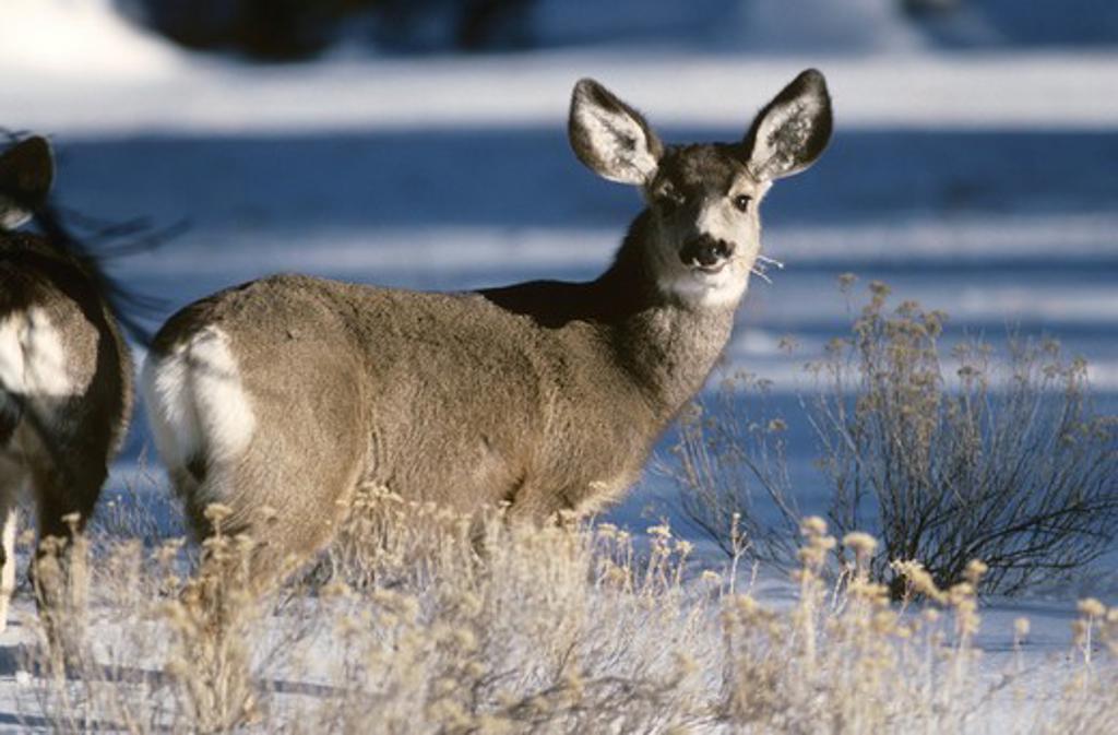 Mule Deer in Winter (Odocoileus hemonius) Bryce Canyon NP, Utah : Stock Photo