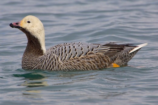 Stock Photo: 4179-2909 Emperor Goose (Chen canagica) near Homer, Alaska