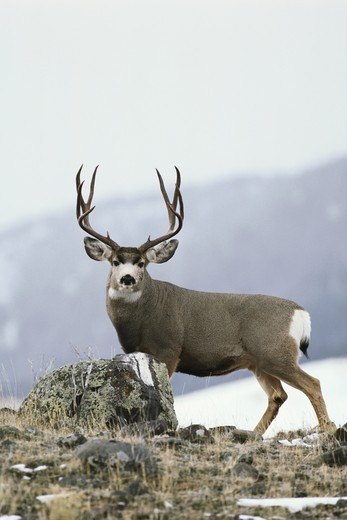 Stock Photo: 4179-29090 Mule Deer (Odocoileus hemionus) 10 pt. Buck during Rut, Yellowstone NP, Montana