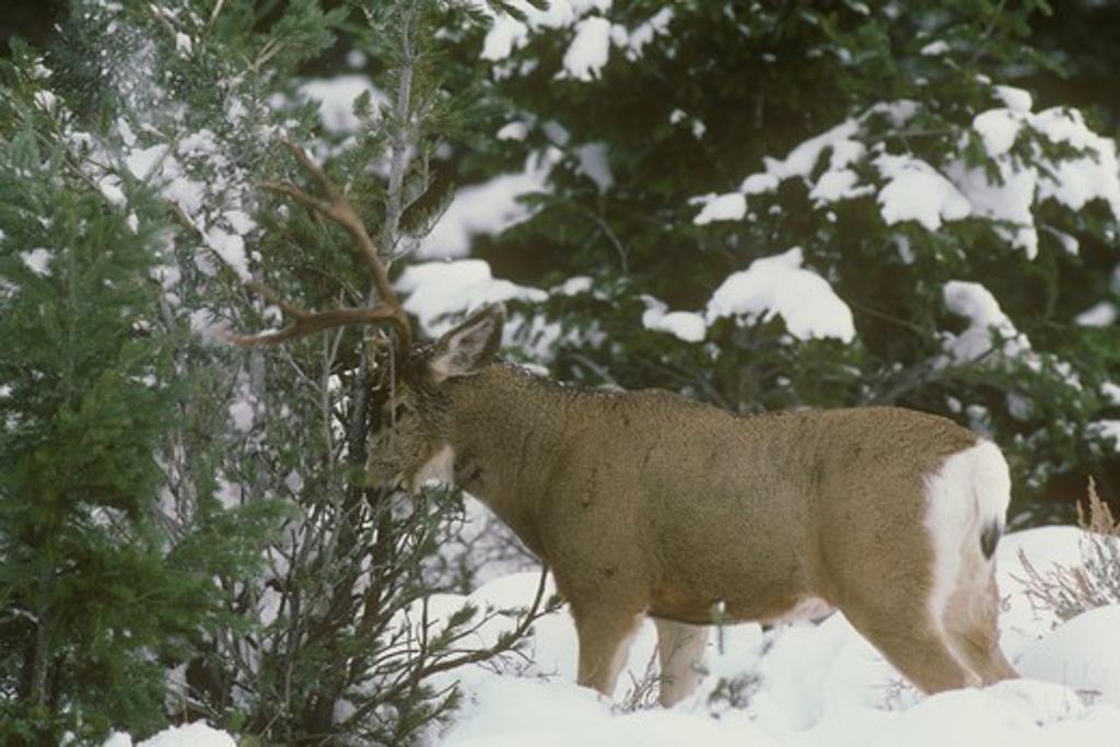 Mule Deer (Odocoileus hemionus) Buck rubbing Tree with Antlers, Yellowstone NP, Wyoming, deep Snow : Stock Photo