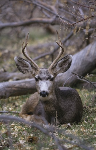 Stock Photo: 4179-29095 Mule Deer Buck lying down in Forest (Odocoileus hemionus) Zion NP{, Utah