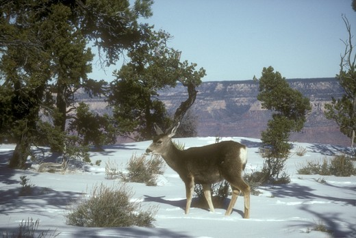 Mule Deer  (Odocileus hemionus) Grand Canyon, Arizona : Stock Photo
