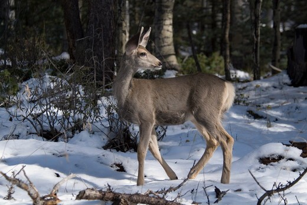 Mule Deer (Odocoileus hemionus) doe, Mineral County, Colorado, USA, September 2006 : Stock Photo