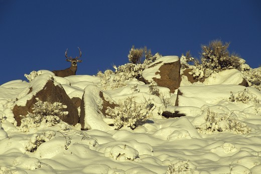 Stock Photo: 4179-29102 Inyo Mule Buck in Winter, near Round Valley, E. Sierra, Mono Co., CA
