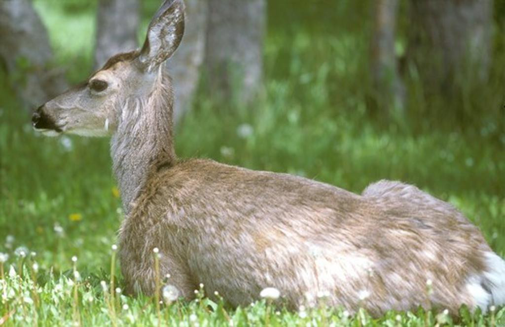 Mule Deer Doe sitting, Waterton NP, Canada : Stock Photo