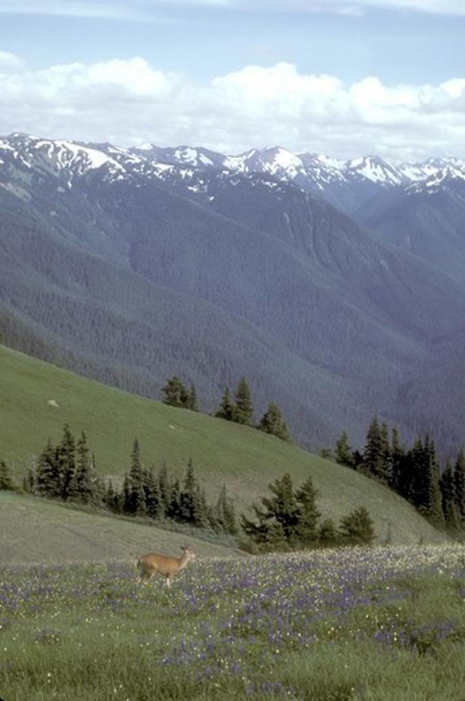 Mule Deer in Flowering Mountain Meadow Olympic N.P., Washington habitat : Stock Photo