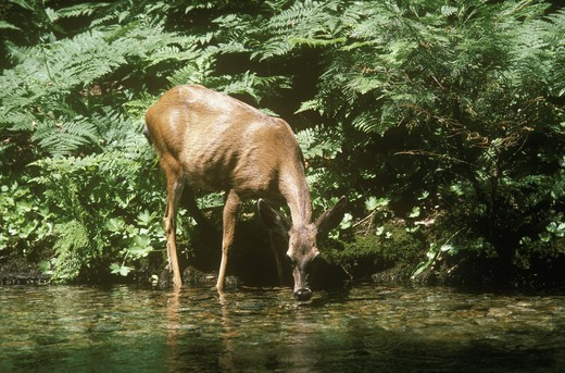 Stock Photo: 4179-29116 California Mule Deer Doe drinking