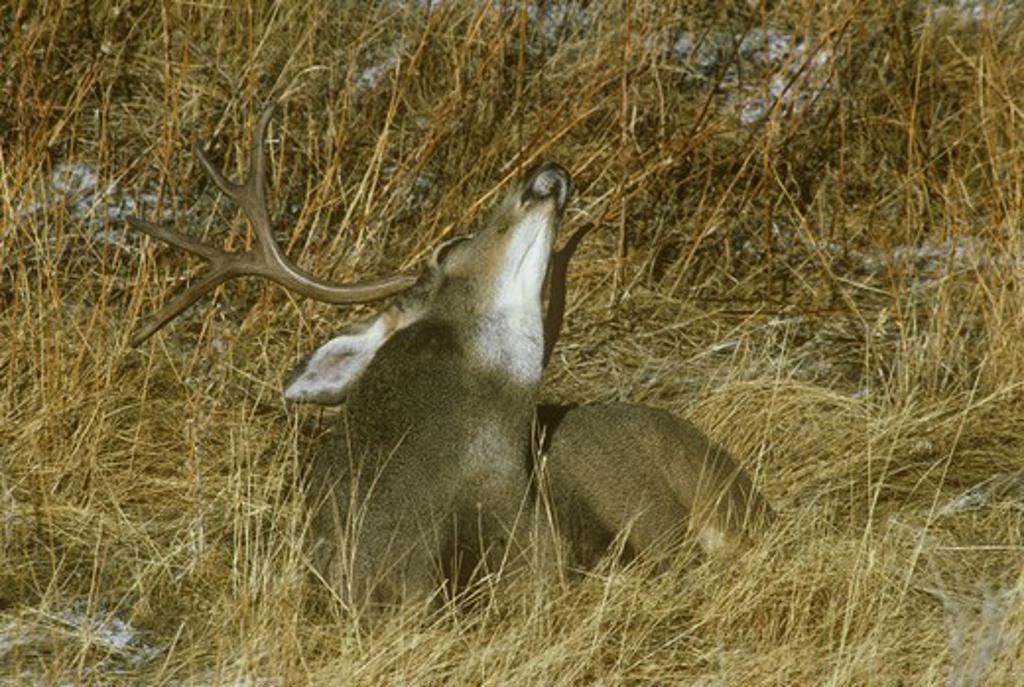Stock Photo: 4179-29118 Mule Deer (Odocoileus hemionus) buck scratching itch with antler