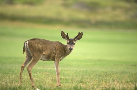 Mule Deer (Odocoileus hemionus), Monterey, CA : Stock Photo