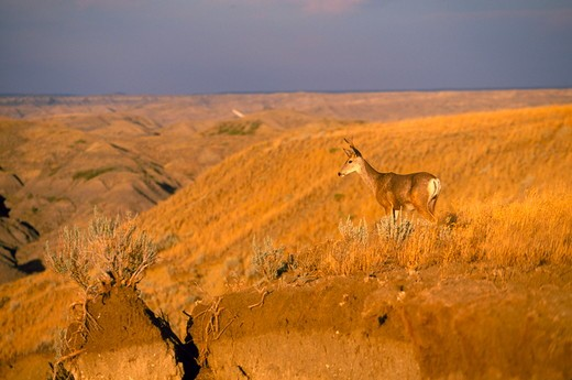 A young Mule Deer buck surveys the draws of Judith Basin Country south of Square Butte in Chouteau County, Montana : Stock Photo