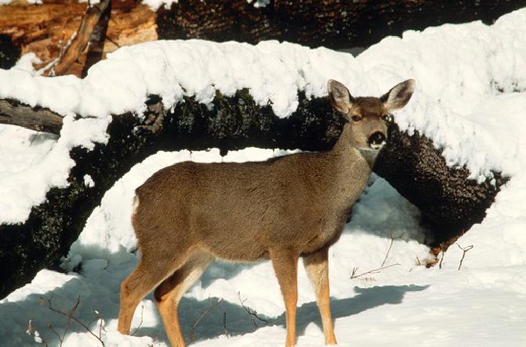 Stock Photo: 4179-29126 Mule Deer Doe in Snow (Odocoileus hemionus), Yosemite NP, CA, California