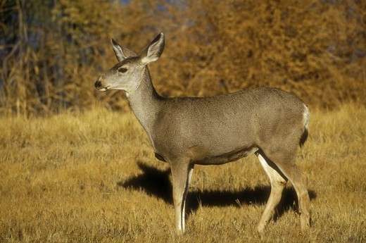 Stock Photo: 4179-29128 Mule Deer (Odocoileus hemionus), wild, Bosque del Apache NWR, NM