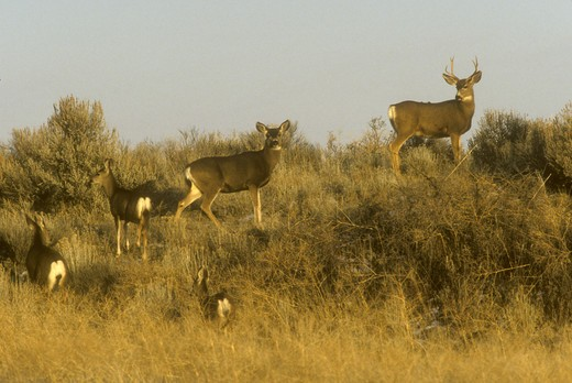 Mule Deer Family (Odocoileus hemionus) Lava Beds NM, CA California : Stock Photo