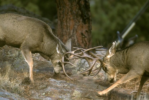 Stock Photo: 4179-29140 Mule Deer Bucks fighting (Odocoileus hemionus), Rocky Mountain NP, CO