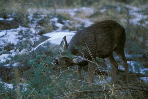 Mule Deer feeding on fallen tamarack in winter - Oregon Eagle Cap Wilderness : Stock Photo