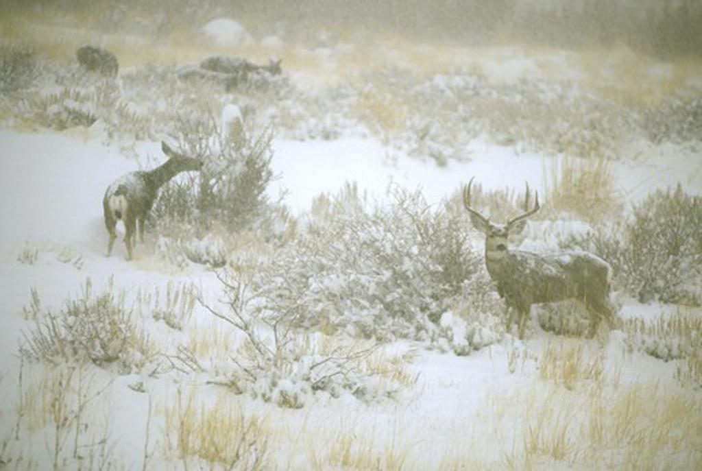 Mule Deer (Odocoileus hemionus) eating Bitterbush. Swall Meadows, E. Sierra, CA : Stock Photo