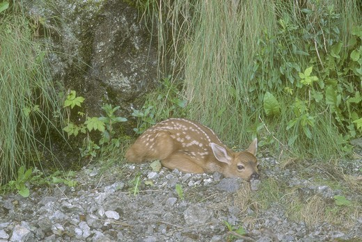 Stock Photo: 4179-29158 Mule Deer (Odocoileus hemionus), spotted fawn on beach, Point of Arches, WA