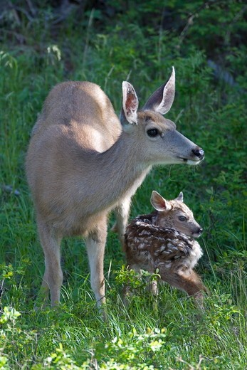 Mule deer newborn fawn, 10 minutes old, doe very alert in Yellowstone National Park : Stock Photo