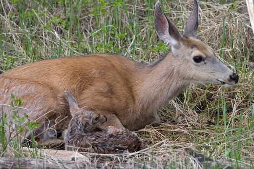 Mule deer doe laying down with new born fawn only 10 minutes old, in Yellowstone National Park : Stock Photo