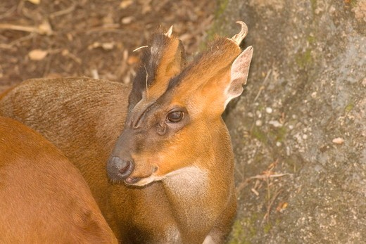 Muntjac Cervidae muntiacus MetroZoo Miami,Fl 2006 Digital Capture : Stock Photo