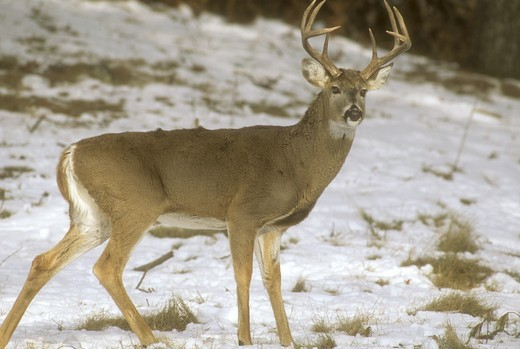 White-Tailed Deer, 8 Point Buck (Odocoileus virginianus), Minnesota : Stock Photo