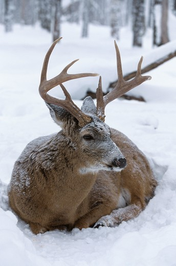 Stock Photo: 4179-29294 Whitetail Deer (Odocoileus virginianus) 8 pt. Buck lying down in Snow, WI Wisconsin
