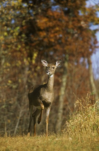 Stock Photo: 4179-29300 Whitetail Deer (Odocoileus virginianus) agitated Doe pounds Foot, Scrub Oak, WI, Wisconsin