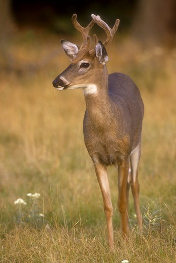Stock Photo: 4179-29331 Whitetail Buck in Velvet (Odocoileus virginianus) August, Ricketts Glen SP/PA