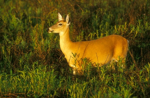 Stock Photo: 4179-29338 White-tailed Doe in Field (Odocoileus virginanus) Myakka State Park, Florida