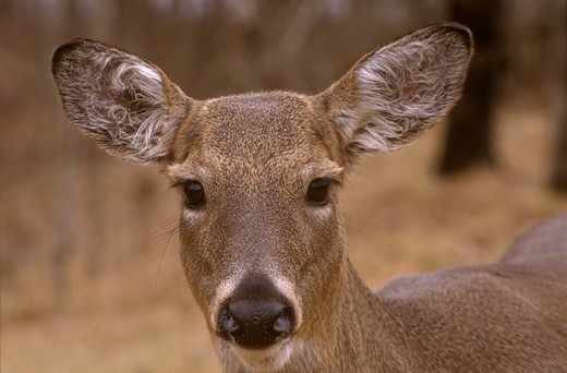 Stock Photo: 4179-29367 White-tailed Deer (Odocoileus virginianus), MI Kensington Metropark