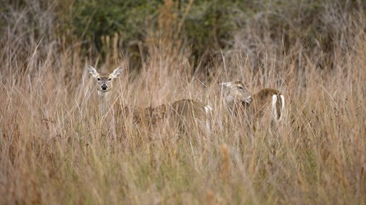 Stock Photo: 4179-29399 White-tailed Deer (Odocoileus virginianus) Aransas NWR, Texas