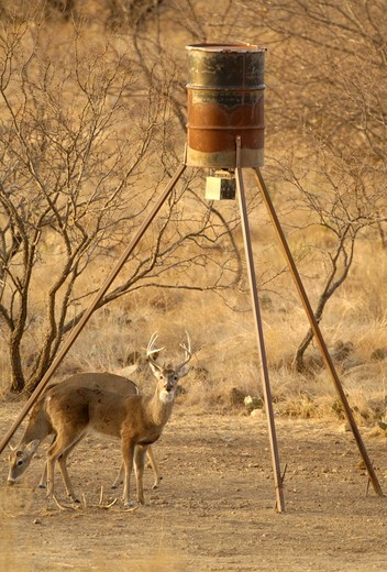 Stock Photo: 4179-29404 Whitetail Deer (Odocoileus virginianus)  South Texas, Buck at feeder