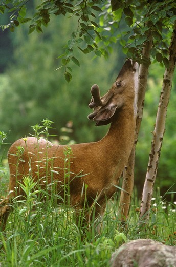 Stock Photo: 4179-29407 Whitetail Deer (Odocoileus virginianus) Buck feeding on Tree, Wisconsin