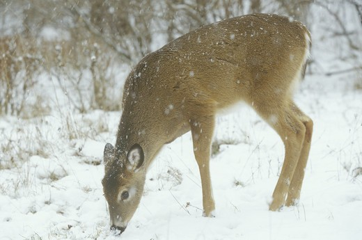 Stock Photo: 4179-29443 White-tailed Deer foraging in Woods (Odocoileus virginianus), Winter,  MI
