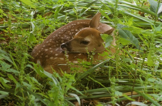 Newborn Whitetail Fawn (Odocoileus virginianus) Dayton, Ohio : Stock Photo