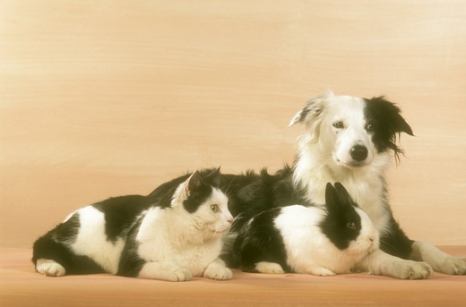 Stock Photo: 4179-29543 Border Collie, Cat & Rabbit