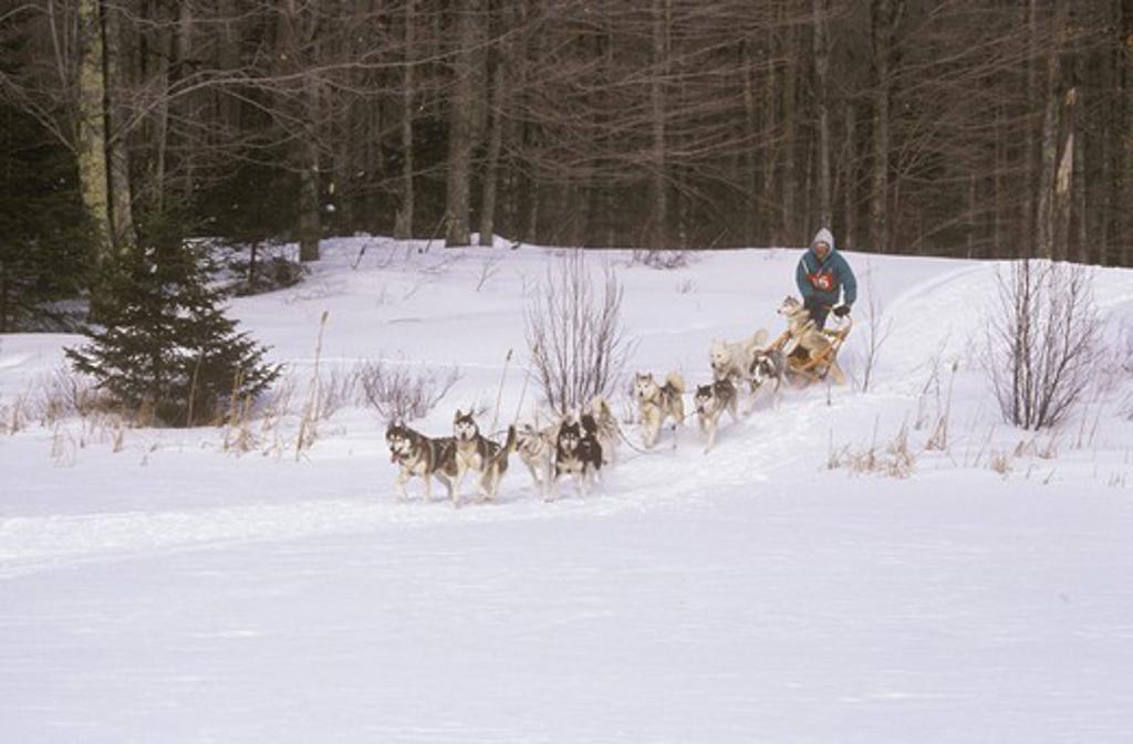 Stock Photo: 4179-29683 Dog Sled Racer Alger County, Michigan USA