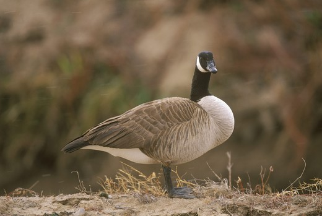 Stock Photo: 4179-2969 Canada Goose (Branta canadensis) Bosque del Apache, New Mexico