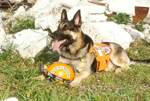 German Shepherd, Search and Rescue Dog, MR : Stock Photo