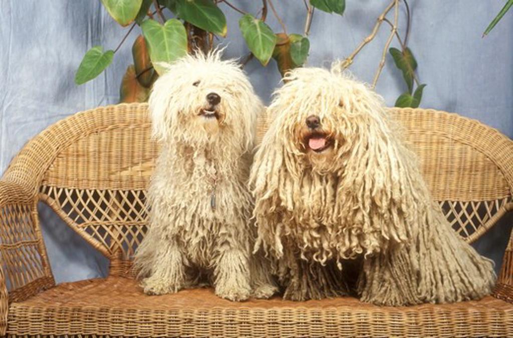 Stock Photo: 4179-29763 Puli with Puppy aka Hungarian Sheepdog