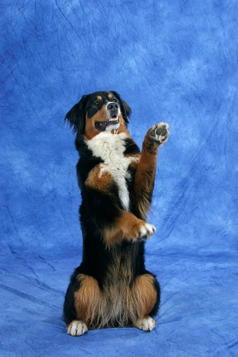 Bernese Mountain Dog, sitting on hind legs : Stock Photo