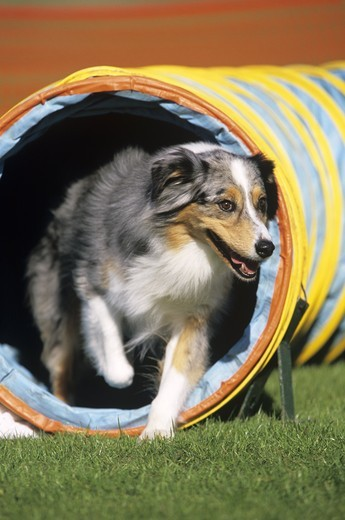Australian Shepherd at Dog Agility Competition, Daytona Beach, FL : Stock Photo