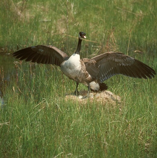Canada Goose on Nest (Branta candensis), Toronto Island, Canada : Stock Photo
