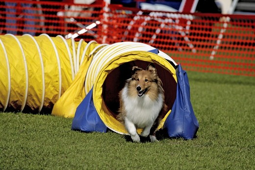 Shetland Sheepdog AKC Dog Agility Daytona,Florida Sunday, January 27, 2008 digital capture : Stock Photo