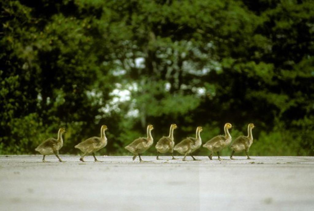Stock Photo: 4179-3017 Canada Geese chicks (Branta canadensis) Seney NWR, MI