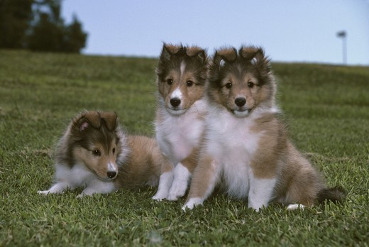 Stock Photo: 4179-30185 Shetland Sheepdog Puppies