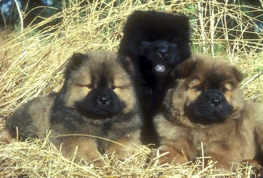 Three Chow Chow Puppies : Stock Photo